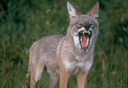 coyotes_small