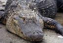 alligator_small